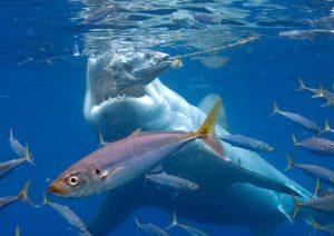Shark-eating-tuna